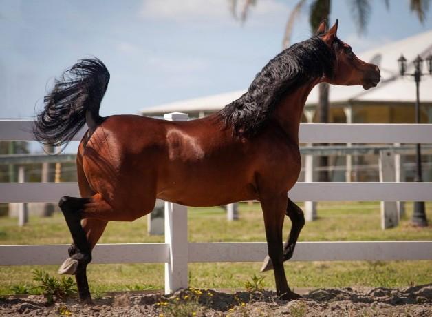 تقدير حالة جسم الحصان – الجزء الأول