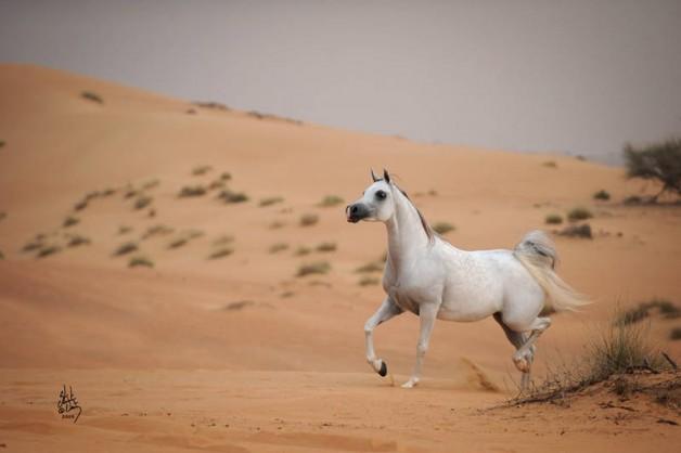 السعودية .. أقدم البقاع التي عرفتها البشرية لاستئناس الخيل