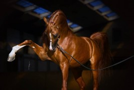 Al- Muhammadiyah Stud Offers the World Champion Stallion ABHA Qatar for free Breeding