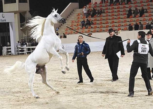 مركز الجواد العربي بالكويت ينظم أربعة مهرجانات كبرى لجمال الخيل العربية