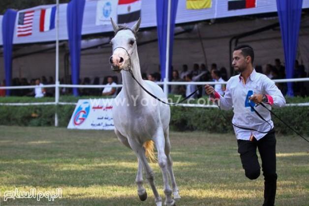 انطلاق مهرجان الخيول  العربية بمصر بمشاركة 350 من الخيل في محطة الزهراء – فيديو