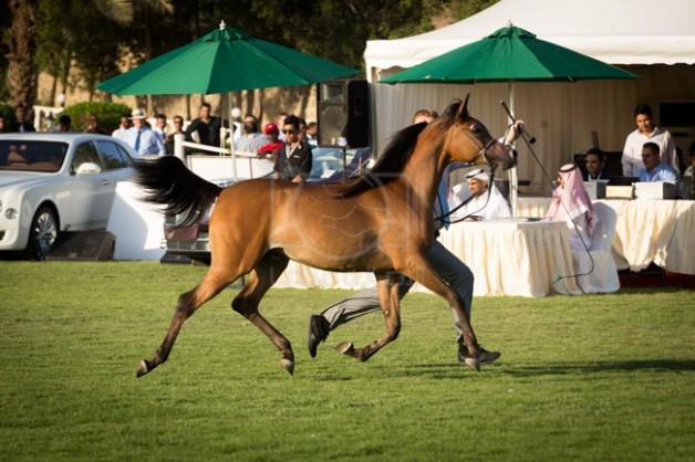 بطولة منطقة مكة المكرمة السابعة الدولية لجمال الخيل العربية في الـ ١٦من نوفمبر بمزرعة الصواري