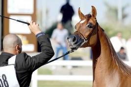 Kuwailt National Arabian Horse Festival 2015 kicks off amid fierce competitions