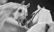 «رمضان» و« الحور» أجمل جياد بطولات الشرق الأوسط لجمال الخيول