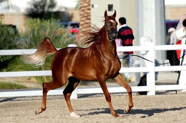 في الكويت: تخصيص مزارع نموذجية وقسائم تربية خيول بالوفرة