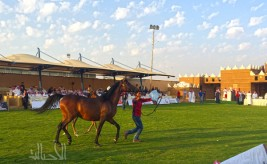Quality is the Most Important:  Auction Sales of Al Muawad Stud for Purebred Arabian Horses Exceed 2 Million Saudi Riyals