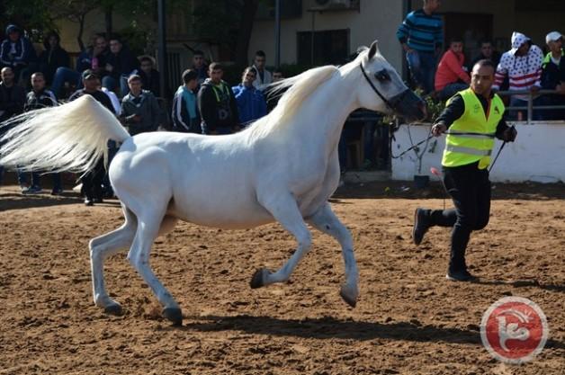 نجاح كبير لبطولة أبطال فلسطين الدولية لجمال الخيول العربية الأصيلة
