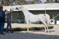 اليوم.. تنطلق فعاليات البطولة الثامنة عشر لجمال الخيول العربية بالزهراء
