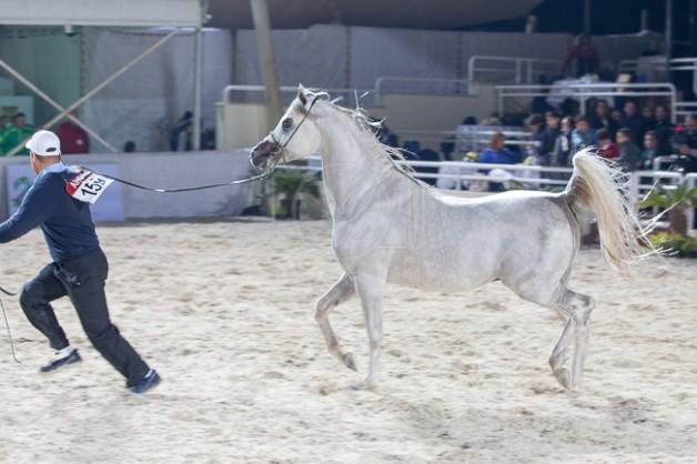 """الزراعة المصرية: أوروبا تستعد لاستقبال الخيول المصرية.. وتورط """"الفروسية"""" في حظر دخولها للأردن"""
