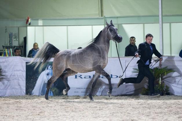 تأجيل زيارة الوفد الأوروبي لمصر لبحث فتح باب تصدير الخيول العربية