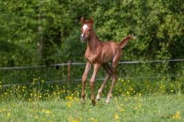 يوميات مربط: هل يفسد التلقيح الاصطناعي انتاج الخيول العربية الأصيلة؟