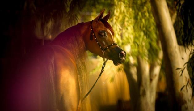«ستار أوف الزبير» تتألق في منافسات اليوم الثاني لبطولة الإمارات الوطنية لجمال الخيول العربية