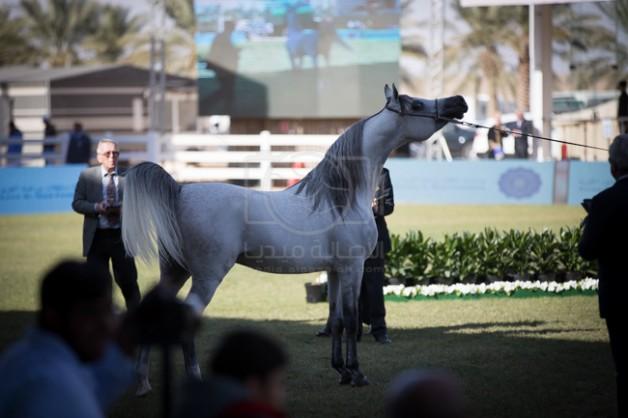 انطلاق مهرجان الأمير سلطان العالمي للجواد العربي ٢٠١٧ بمشاركة ٢٦٠ جواداً من ١٥ دولة – البرنامج