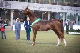 بسبب زيادة اعداد الخيول المشاركة: مهرجان الأمير سلطان بن عبدالعزيز للجواد العربي 2019 يستمر لمدة 4 ايام