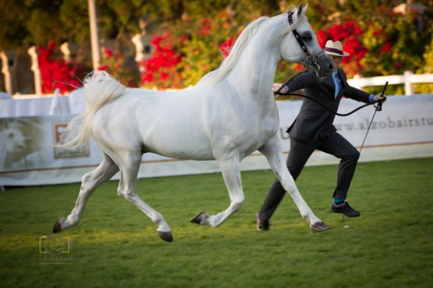 البطولة الوطنية لجمعية الإمارات للخيول العربية تنطلق اليومبمشاركة 229 من الخيل
