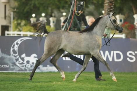 مقتطفات اليوم الأول من بطولة ابوظبي الدولية ٢٠١٦ لجمال الخيول العربية