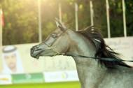 تفوق بارز لـ «دبي» و «البداير» في اليوم الأول من بطولة الإمارات لمربي الخيول العربية – نتائج اليوم الأول