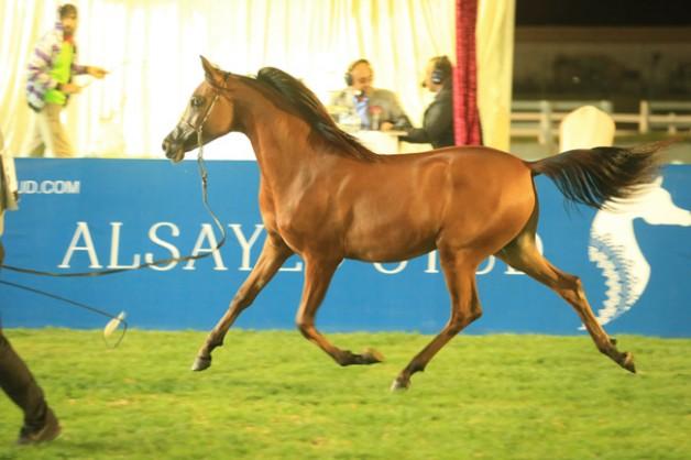 مليون و500 ألف درهم حصيلة مزاد الخيول بمعرض أبوظبي الدولي للصيد والفروسية