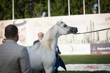 مقتطفات من اليوم الثالث لبطولة ابوظبي الدولية ٢٠١٦ لجمال الخيل العربية الأصيلة