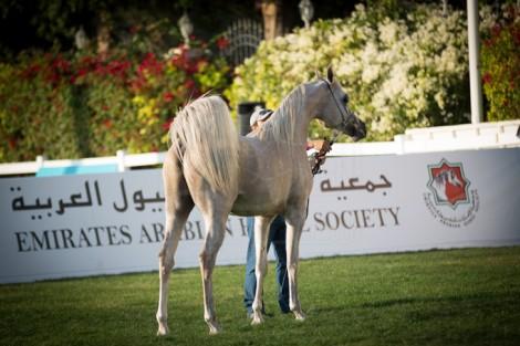 مقتطفات من اليوم الرابع لبطولة ابوظبي الدولية ٢٠١٦ لجمال الخيل العربية الأصيلة