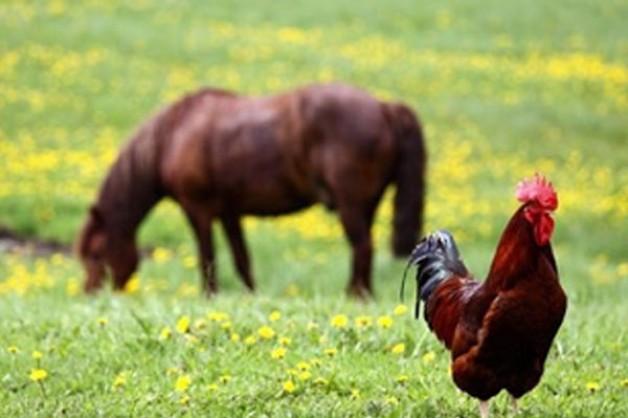 تناول حصاني علف الدواجن،، ماذا علي أن أفعل؟