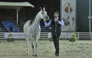 المهرة «صنعاء المعود» والفرس « ريم الزبير» تتألقان بذهب (فيصل بن حمد) المحلية لجمال الخيل العربية الأصيلة بالبحرين