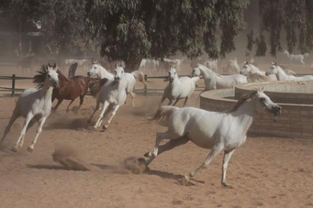 المخلفات! تهدد خيول محطة الزهراء