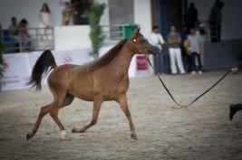 نادي الشارقة يعلن اجندته للموسم 2018 -2019 التيتضم 3 مهرجان لجمال الخيول العربية