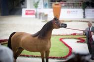 أنقى سلالات الخيول العربية للسلالة المصرية تستعرض جمالها في الشارقة