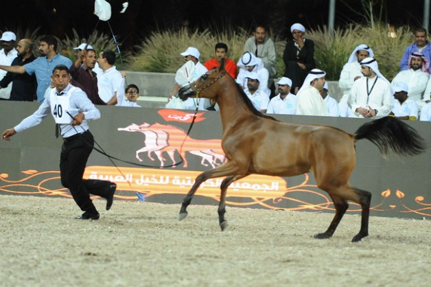 انطلاق بطولة المربين  الكويتيين لجمال الخيل العربية بأنظمة وقوانين «الجواد العربي»