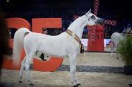 «الزبير» يتألق بذهب الأفراس  .. و «الشقب» (يقحش) باقي الذهب! في «قطر الدولية» لجمال الخيل العربية ٢٠١٦  – النتائج النهائية