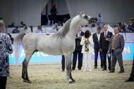 صور مقتطفات اليوم الثاني لبطولة دبي الدولية للجواد العربي ٢٠١٦