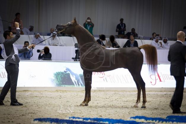 مربط (دبي) يظفر بنصف ذهب (الإمارات لمربي الخيول العربية) – النتائج النهائية