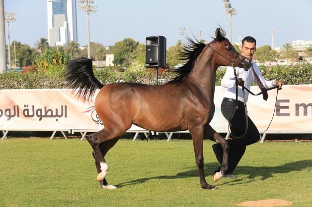 صور مقتطفات اليوم الأول من بطولة ابوظبي الوطنية ٢٠١٦ لجمال الخيول العربية