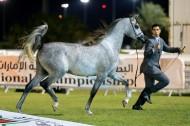 انتاج «الزبير» و«دبي»  يحلق عالياً  بملكية المواطنين في نهائيات البطولة الوطنية لجمعية الإمارات للخيول العربية – النتائج