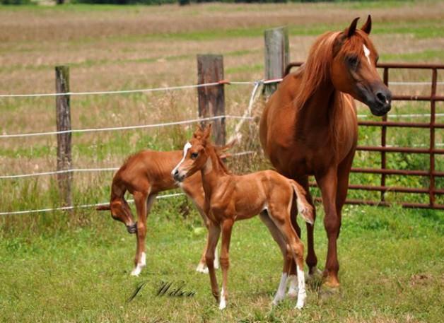 التوائم من الأشياء الغريبة في الخيول ومن النادر نجاحه .. لماذا؟