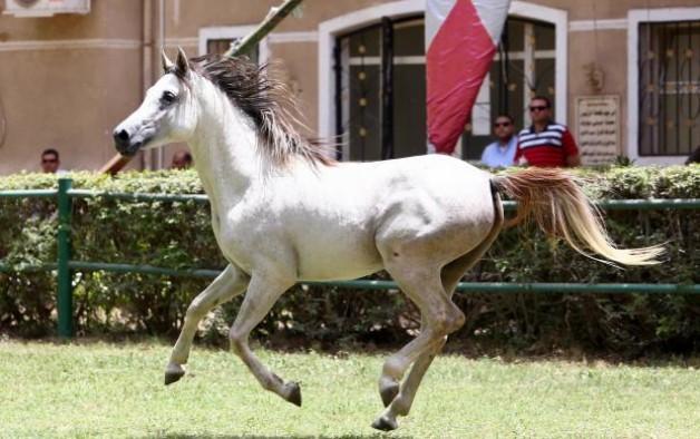 مزاد «الزهراء» للخيول العربية .. يجني «الملايين» من الجنيهات الاسبوع الماضي