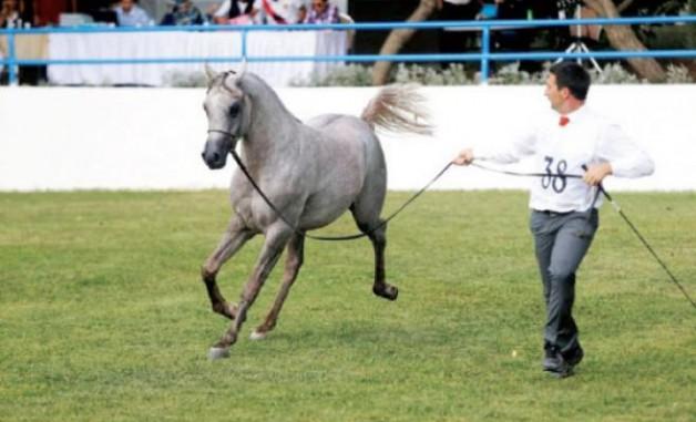 البطولة الوطنية للخيول العربية الأصيلة بالأردن تفتتح اليوم