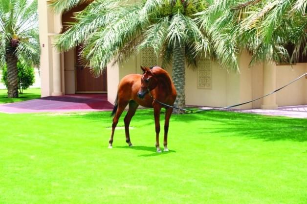 مربط دبي للخيول العربية يقدم المهرة  «دي لمار» لصالح مزاد حملة «أمة تقرأ»