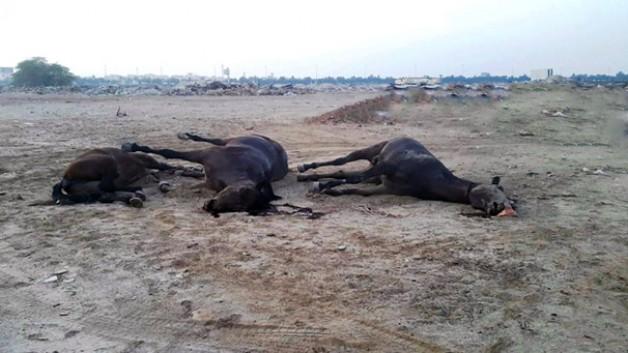 نفوق 20 رأساً من الجياد بعد قطع الكهرباء والماء عن إسطبلات بالبحرين