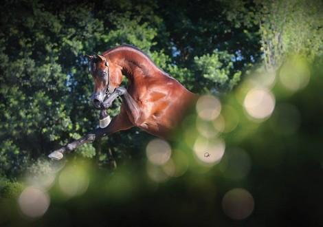 «اليهاندرو» يحقق لقب افضل فحل منتج في اختتام بطولة المربين الأوروبيين – شانتلي 2016 – النتائج النهائية
