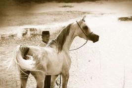 """مزرعة (زيتشي تيسن) للخيول العربية بالأرجنتين.. مسكن """"الشكلان"""" و""""لودجين الجمال"""""""