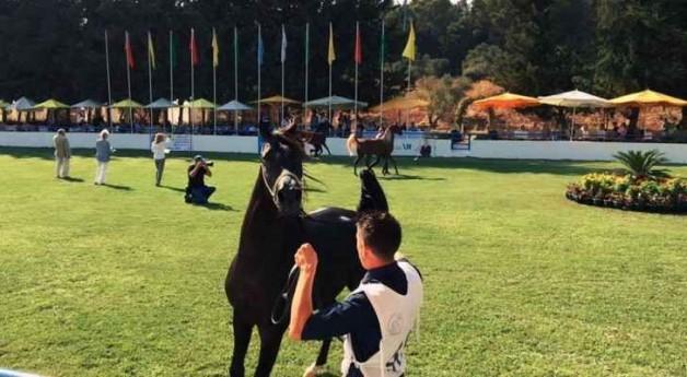 انطلاق بطولة الشرق الاوسط  ٢٠١٦ لجمال الخيول العربية
