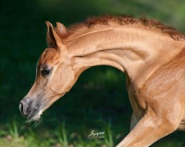 الحلاقة – الجزء الثالث: تقبل الحصان لمقصات الحلاقة – بالصور