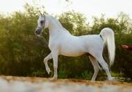 الخيول المصرية – اتجاهات العوائل وتأثيرات الطلائق – الجزء الثاني