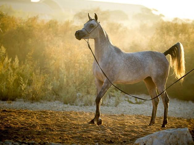 الزراعة المصرية: رفع حظر تصدير الخيول إلى الاتحاد الأوروبى مؤقتا