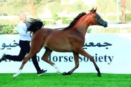 تواصل منافسات بطولة الإمارات لمربي الخيول العربية في يومها الثاني – نتائج الفئات