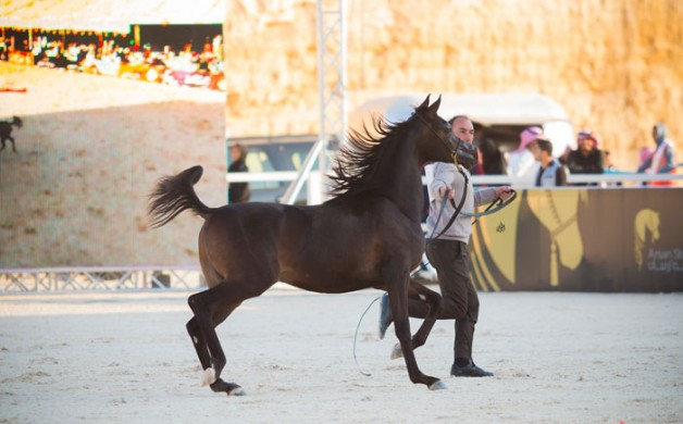 اختتام «بطولة الرياض» لجمال الخيل العربية في نسختها الأولى بنجاح  – النتائج النهائية