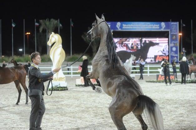اختتام مميز لبطولة الكويت الخامسة لجمال الخيل العربية – النتائج النهائية