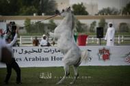 بطولة «الإمارات الوطنية» تضرب ارقام قياسية .. وجمعية الإمارات للخيول العربية تنافس نفسها في الصدارة!